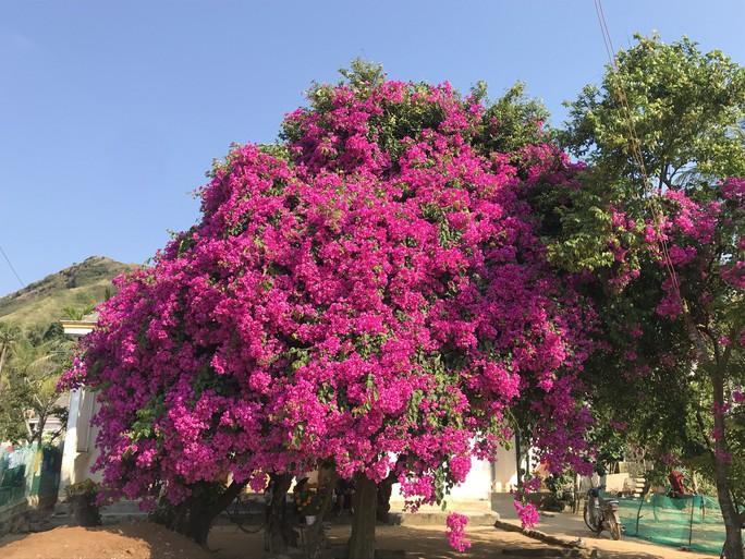 Phát sốt với cây hoa giấy khổng lồ hút khách du lịch ở Lý Sơn - Ảnh 1.