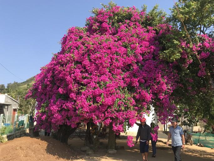 Phát sốt với cây hoa giấy khổng lồ hút khách du lịch ở Lý Sơn - Ảnh 5.