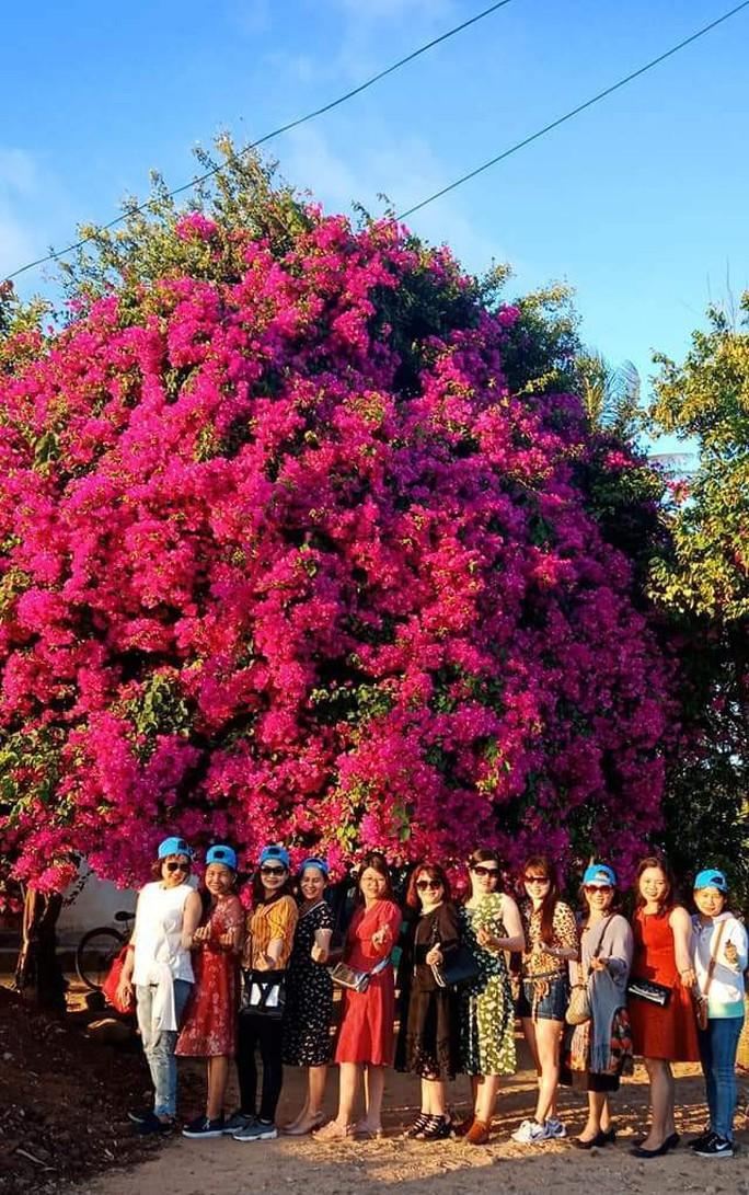 Phát sốt với cây hoa giấy khổng lồ hút khách du lịch ở Lý Sơn - Ảnh 2.