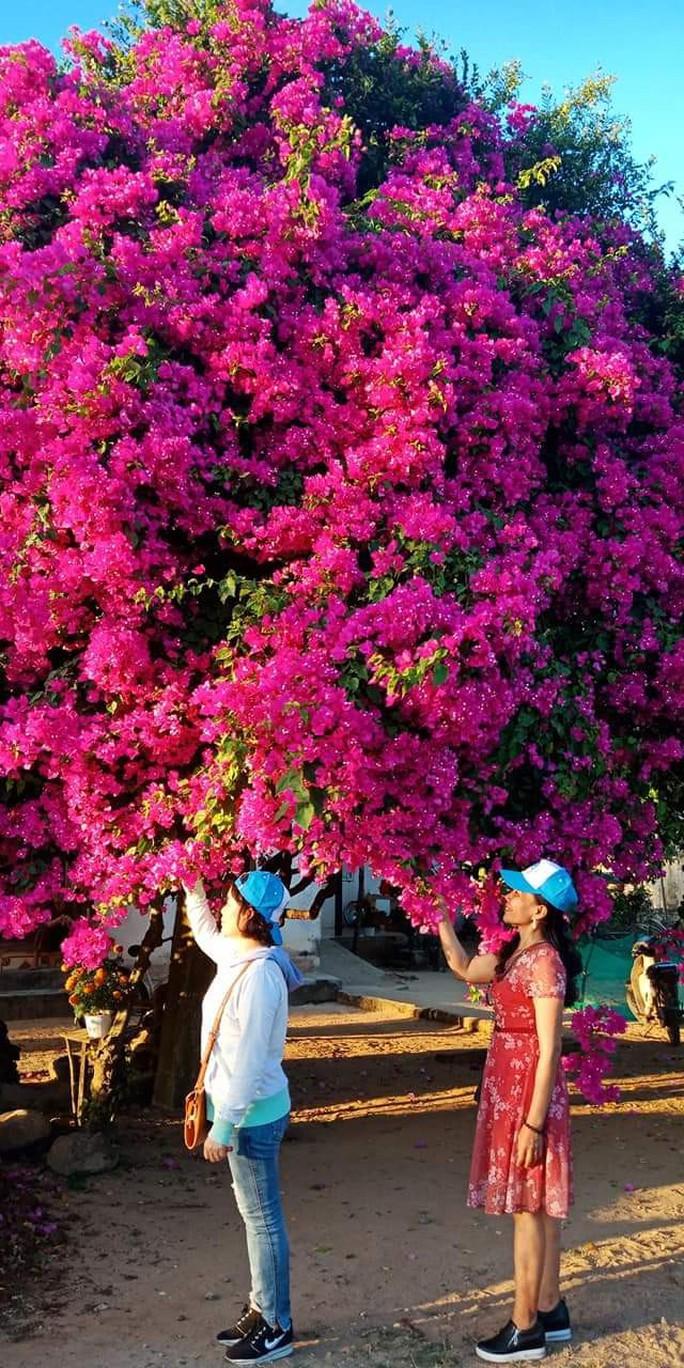 Phát sốt với cây hoa giấy khổng lồ hút khách du lịch ở Lý Sơn - Ảnh 6.