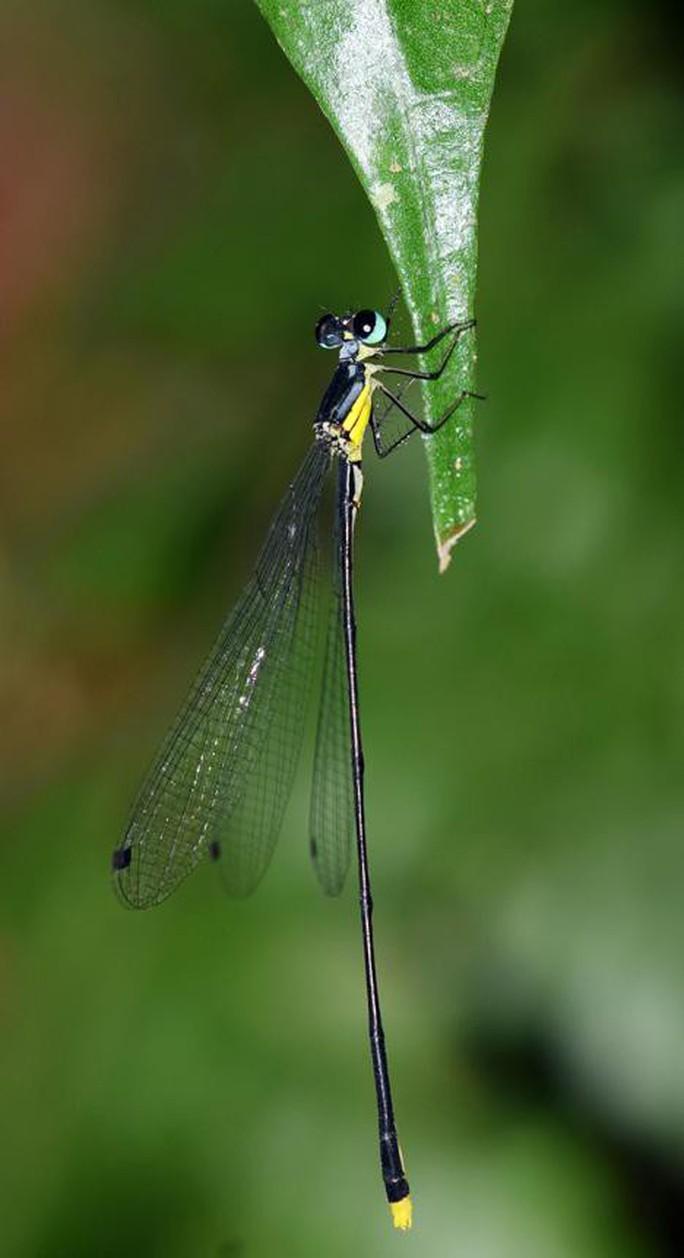 Nhà khoa học Đại học Duy Tân phát hiện loài chuồn chuồn kim mới ở Tây Nguyên - Ảnh 1.