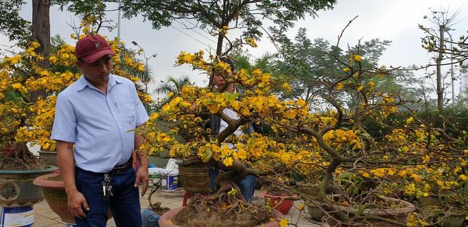 Đà Nẵng: Mai Tết đầy chợ, người mua thưa thớt - Ảnh 2.