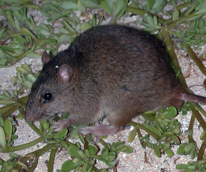 Động vật có vú đầu tiên tuyệt chủng vì biến đổi khí hậu - Ảnh 1.