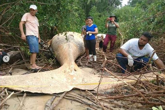 Cá voi dài 11 m chết trong... rừng rậm Amazon - Ảnh 3.
