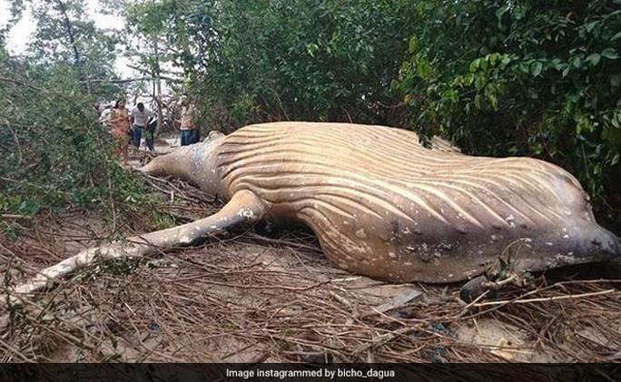 Cá voi dài 11 m chết trong... rừng rậm Amazon - Ảnh 2.