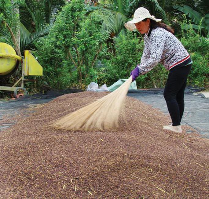 Lạ lùng với ruộng lúa tím, dùng nấm, la hán quả... phòng sâu bệnh - Ảnh 2.