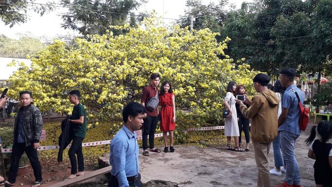 Hàng ngàn người đến thưởng lãm cây mai khủng ở Đồng Nai - Ảnh 2.