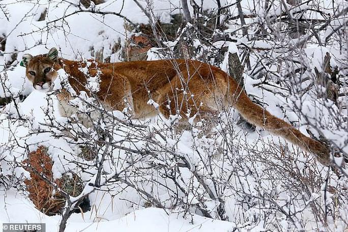 Bị tấn công bất ngờ, người chạy bộ bóp chết sư tử núi bằng tay không - Ảnh 1.