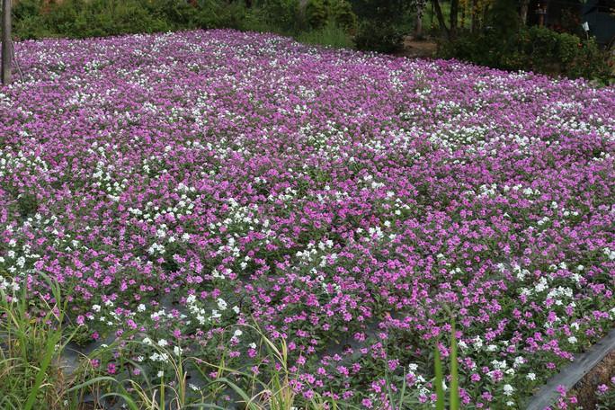 Bất ngờ với vẻ đẹp của hoa dừa cạn nở rực rỡ đón Xuân - Ảnh 1.