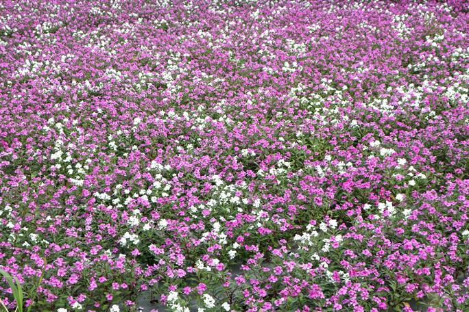 Bất ngờ với vẻ đẹp của hoa dừa cạn nở rực rỡ đón Xuân - Ảnh 2.