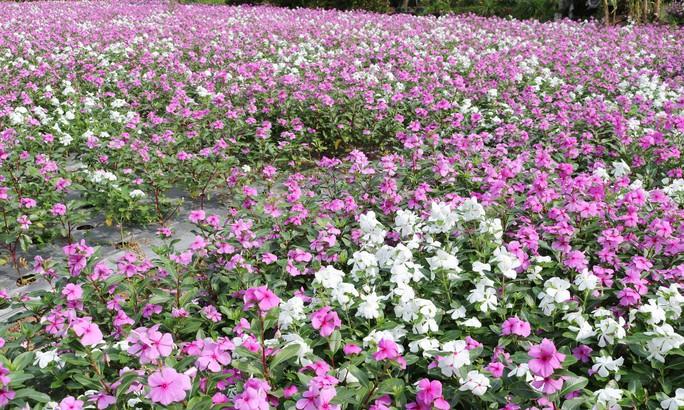 Bất ngờ với vẻ đẹp của hoa dừa cạn nở rực rỡ đón Xuân - Ảnh 3.