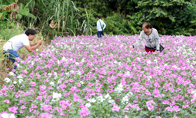 Bất ngờ với vẻ đẹp của hoa dừa cạn nở rực rỡ đón Xuân - Ảnh 6.