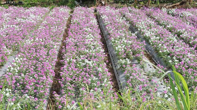 Bất ngờ với vẻ đẹp của hoa dừa cạn nở rực rỡ đón Xuân - Ảnh 7.