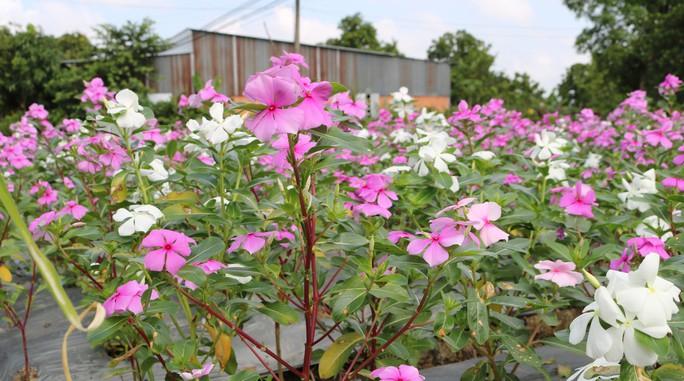 Bất ngờ với vẻ đẹp của hoa dừa cạn nở rực rỡ đón Xuân - Ảnh 8.