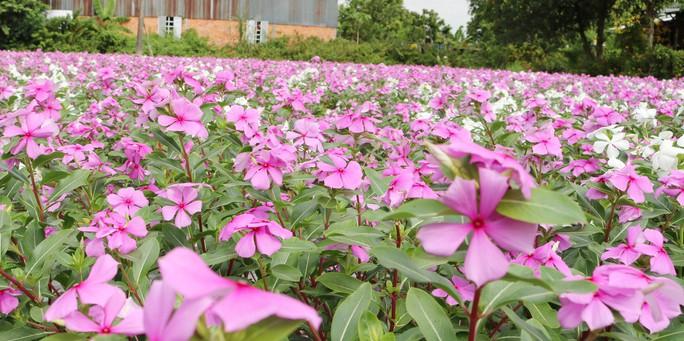 Bất ngờ với vẻ đẹp của hoa dừa cạn nở rực rỡ đón Xuân - Ảnh 9.