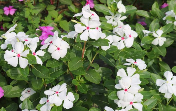 Bất ngờ với vẻ đẹp của hoa dừa cạn nở rực rỡ đón Xuân - Ảnh 10.