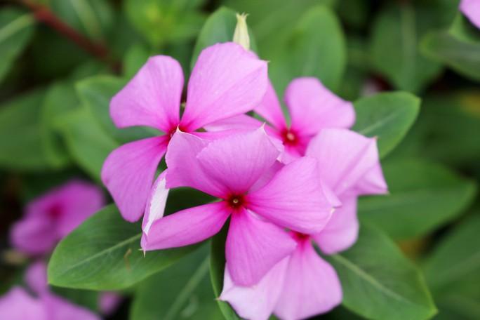 Bất ngờ với vẻ đẹp của hoa dừa cạn nở rực rỡ đón Xuân - Ảnh 11.