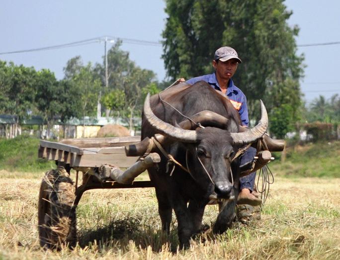Trâu kéo lúa ở miền Tây giữ lại nét văn hóa nông nghiệp Nam bộ - Ảnh 1.