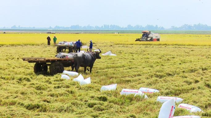 Trâu kéo lúa ở miền Tây giữ lại nét văn hóa nông nghiệp Nam bộ - Ảnh 4.