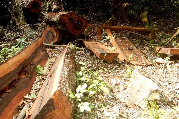 Thêm một khu rừng gỗ quý bị lâm tặc đốn hạ ở Quảng Bình - Ảnh 1.