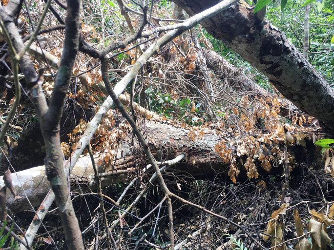 Cận cảnh khu rừng gỗ quý ở Quảng Bình bị lâm tặc chặt phá tan hoang - Ảnh 7.