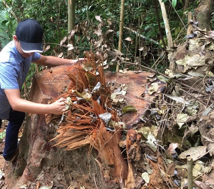 Cách chức, kỷ luật hàng loạt cán bộ vì để lâm tặc phá rừng gỗ quý - Ảnh 1.