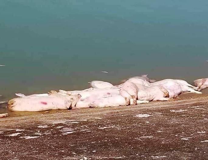Khánh Hòa: Heo chết thả đầy hồ - Ảnh 2.