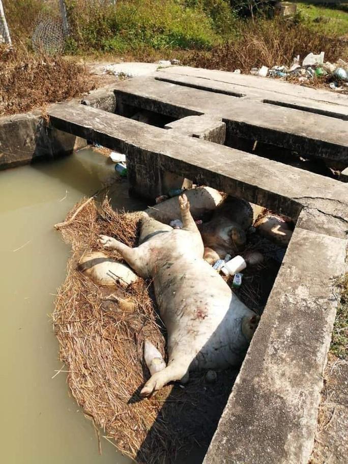Khánh Hòa: Heo chết thả đầy hồ - Ảnh 3.