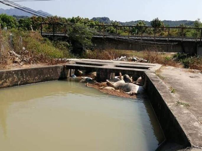 Khánh Hòa: Heo chết thả đầy hồ - Ảnh 1.