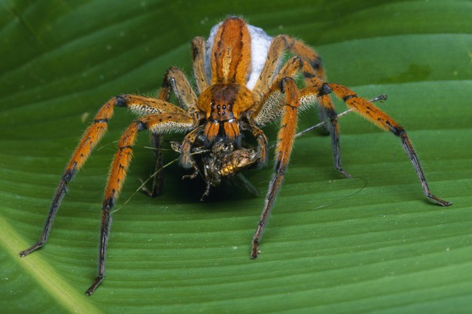 Chữa bản lĩnh đàn ông bằng… nhện độc - Ảnh 2.