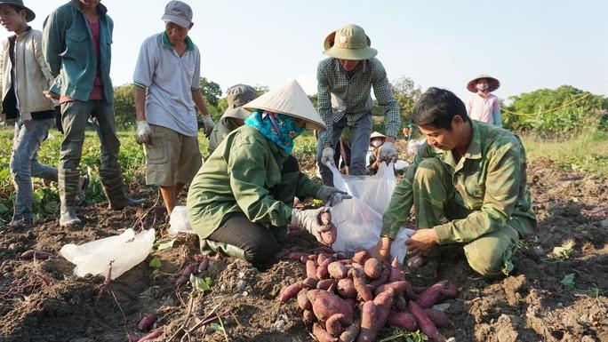 TP HCM lập chiến dịch giải cứu khoai lang giúp nông dân Gia Lai - Ảnh 4.