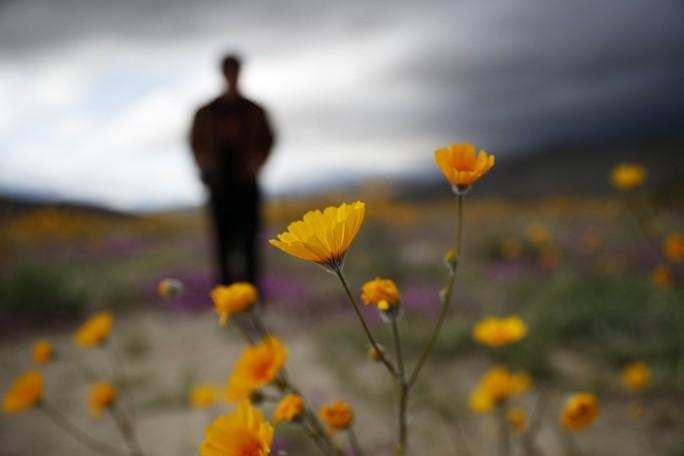 Choáng ngợp hoa dại nở rộ trên sa mạc California - Ảnh 1.
