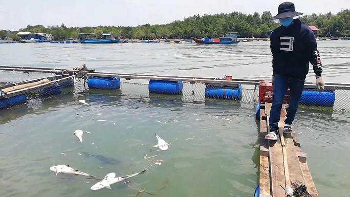 CLIP: Hàng chục tấn cá bớp loại 3-5kg/con phơi bụng ở TP Vũng Tàu - Ảnh 1.