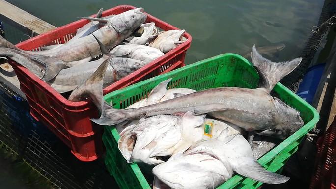 CLIP: Hàng chục tấn cá bớp loại 3-5kg/con phơi bụng ở TP Vũng Tàu - Ảnh 3.