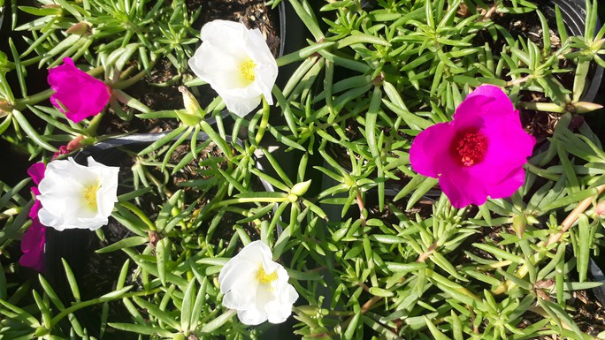 """Lạ đời hoa mười giờ nở hoa cả ngày không """"ngủ"""" - Ảnh 4."""