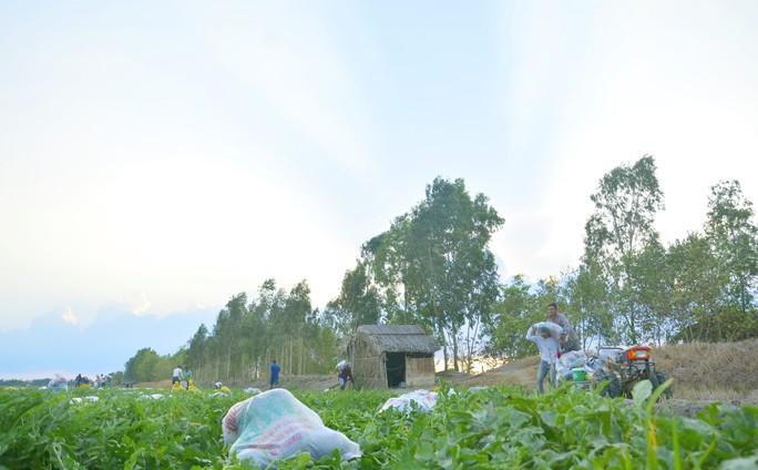 Nắng cháy da, nông dân vẫn tươi cười vì được mùa dưa hấu ngọt - Ảnh 7.