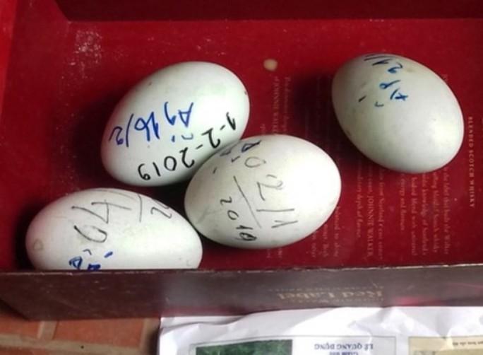 Đàn thiên nga 12 con ở hồ Thiền Quang bất ngờ đẻ gần 20 quả trứng - Ảnh 1.