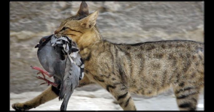 Úc lên kế hoạch giết 2 triệu con mèo hoang - Ảnh 1.