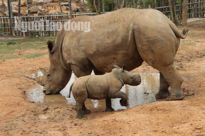Ngắm tê giác con được sinh ra ở Safari Phú Quốc - Ảnh 2.
