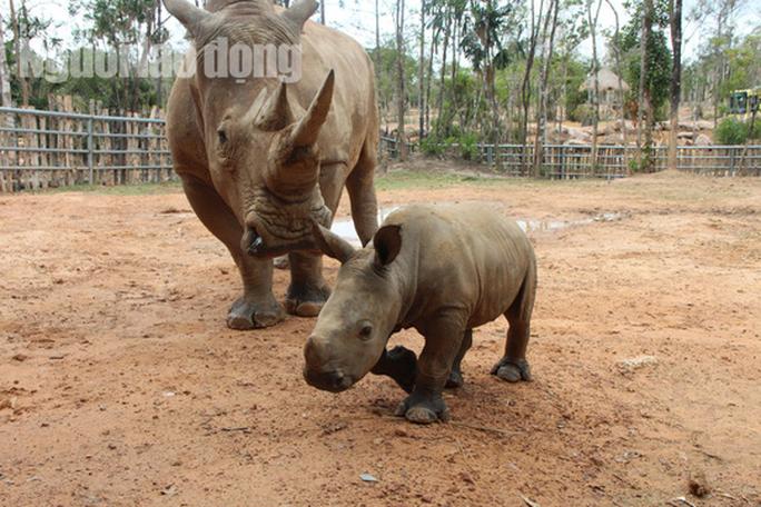 Ngắm tê giác con được sinh ra ở Safari Phú Quốc - Ảnh 4.
