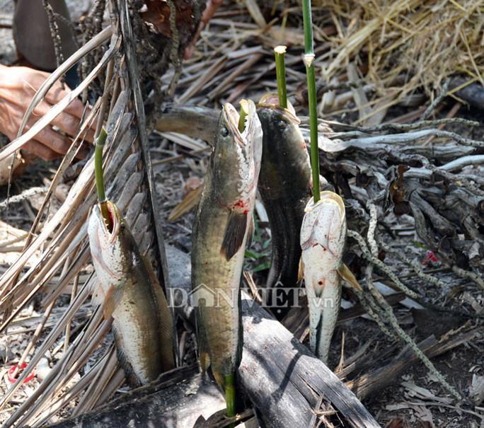 Sướng với cá đồng quẫy loạn xạ ở đìa vừa tát tại huyện Trần Văn Thời - Ảnh 3.