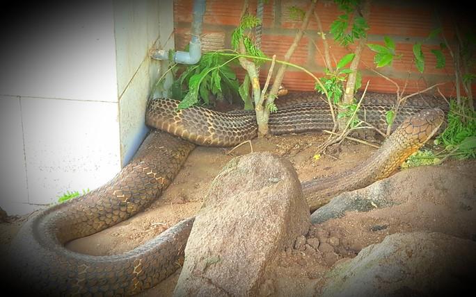 Sẽ tịch thu 2 rắn hổ mây khủng nuôi nhốt trái phép tại Khu Du lịch Đồi Tức Dụp - Ảnh 1.