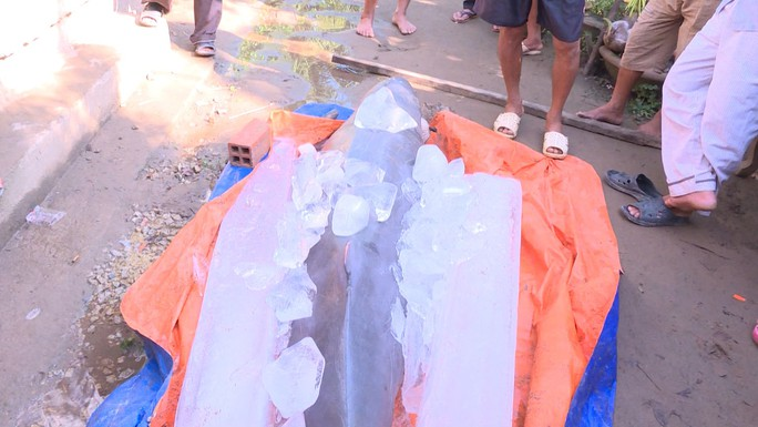 Bắt được cá lạ nặng 150 kg trên sông Cổ Chiên - Ảnh 2.