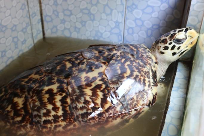 Thả 2 cá thể rùa quý hiếm về biển - Ảnh 2.