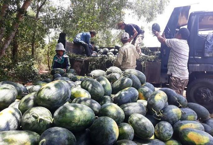 Sau giải cứu, nông dân Quảng Ngãi lãi khủng với dưa hấu - Ảnh 1.