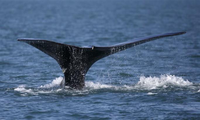 Nước biển nóng lên, lượng cá voi đầu bò giảm sút - Ảnh 1.