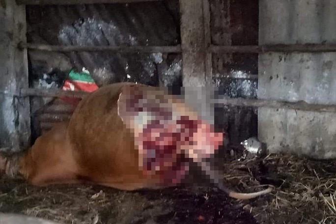 Phẫn nộ kẻ gian xẻ thịt 2 đùi bò mẹ đang mang thai rồi trộm đi - Ảnh 1.