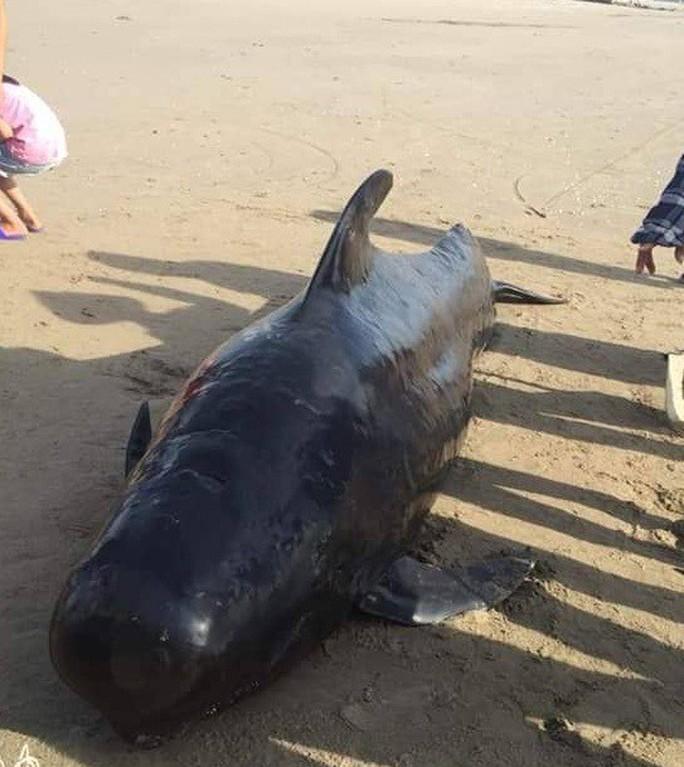 Cá voi dài 4 m, nặng gần 1 tấn chết dạt vào bờ biển khu vực sân golf - Ảnh 1.