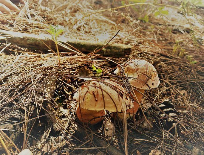 Nấm rừng thông, ăn ngon đến quên cả no - Ảnh 3.
