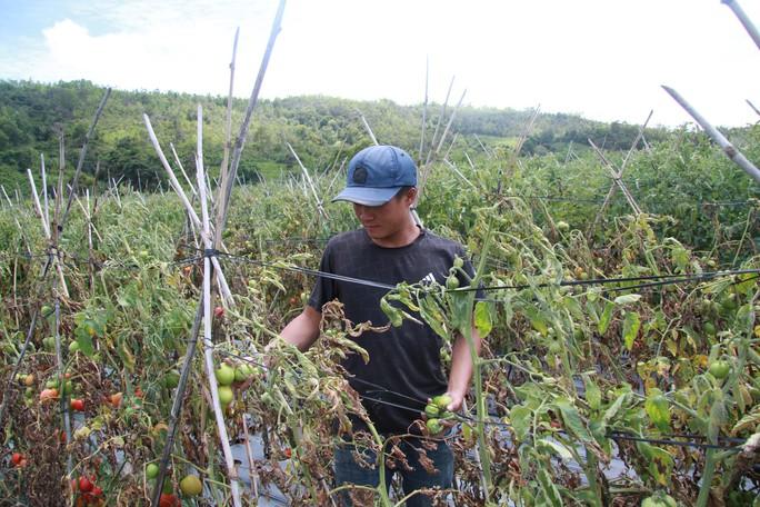 Xót xa hơn 3 ha cà chua chết rũ nghi bị kẻ xấu hạ độc - Ảnh 1.